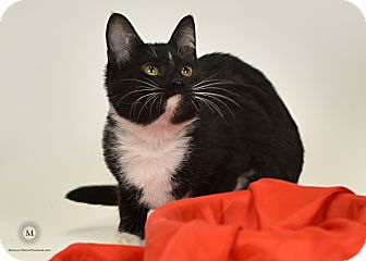 Domestic Shorthair Kitten for adoption in St. Louis, Missouri - Pepe