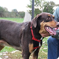 Doberman Pinscher/Australian Shepherd Mix Dog for adoption in Elyria, Ohio - Braxton