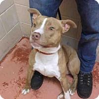 Adopt A Pet :: PIGLET - Rockford, IL