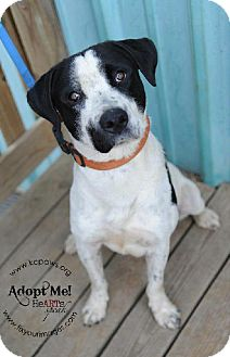 English Pointer Mix Dog for adoption in Kansas City, Missouri - Koda