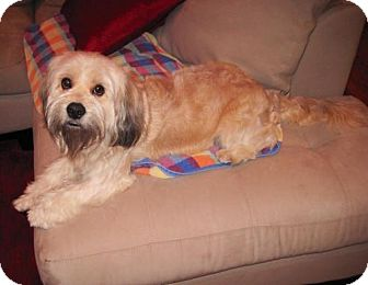 Tibetan Terrier Mix Dog for adoption in Houston, Texas - Doogie
