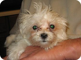 Maltese Puppy for adoption in Salem, New Hampshire - Hermione Granger