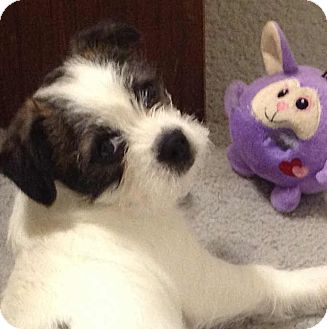 ... Puppy | Allentown, PA | Boston Terrier/Yorkie, Yorkshire Terrier Mix