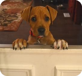 Mastiff/Boxer Mix Puppy for adoption in Marlton, New Jersey - Baby Nugget