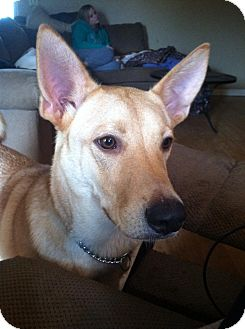 Carolina Dog Mix Dog for adoption in Cranston, Rhode Island - Luke (located in TN)