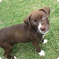 Adopt A Pet :: Pudding - Richmond, VA