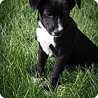 Adopt A Pet :: Dahlia - Broomfield, CO