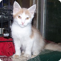 Adopt A Pet :: LKQ Kitty - Morriston, FL