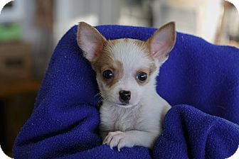 Chihuahua Puppy for adoption in Farmington Hills, Michigan - C-Winslow