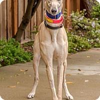 Adopt A Pet :: Gracie - Walnut Creek, CA