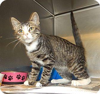 Domestic Shorthair Kitten for adoption in Newport, North Carolina - Dutches (Petsmart New Bern)