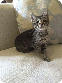 Domestic Shorthair Kitten for adoption in Addison, Illinois - Junior