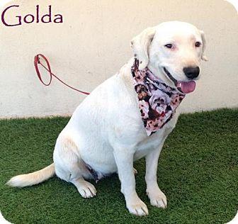 Labrador Retriever Mix Dog for adoption in San Diego, California - Golda