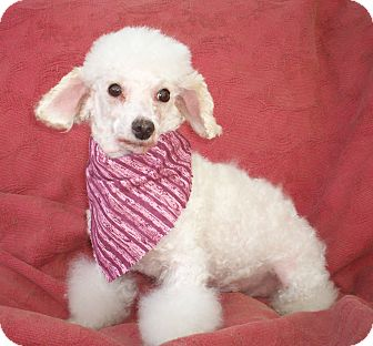 Poodle (Miniature) Dog for adoption in Sullivan, Missouri - Millie