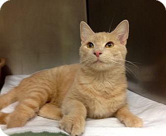Domestic Shorthair Cat for adoption in Triadelphia, West Virginia - B-9