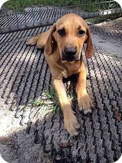 Labrador Retriever/Hound (Unknown Type) Mix Puppy for adoption in Groveland, Florida - Kovu