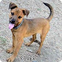 Adopt A Pet :: Rover (Puppy) - Lindsay, CA