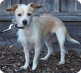 Toy Fox Terrier/Jack Russell Terrier Mix Dog for adoption in Corona, California - Patch
