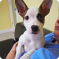 Fox Terrier (Smooth) Mix Puppy for adoption in Philadelphia, Pennsylvania - Mandy
