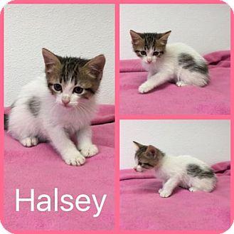 Domestic Shorthair Cat for adoption in Alvarado, Texas - Halsey