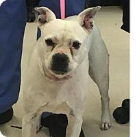 Boston Terrier/Boxer Mix Dog for adoption in Manassas, Virginia - Zoe