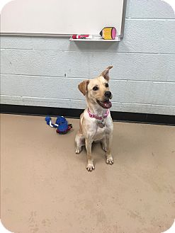 Labrador Retriever/Terrier (Unknown Type, Medium) Mix Dog for adoption in Nashville, Tennessee - Blondie