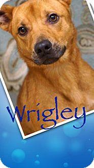 Black Mouth Cur/Labrador Retriever Mix Dog for adoption in Effort, Pennsylvania - Wrigley