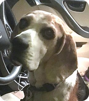 Beagle Mix Dog for adoption in North Las Vegas, Nevada - JT