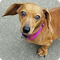 Adopt A Pet :: Meadow Marzipan - Houston, TX