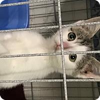 Adopt A Pet :: Feline Blessings - Remus, MI