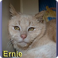 Adopt A Pet :: Ernie - Aldie, VA