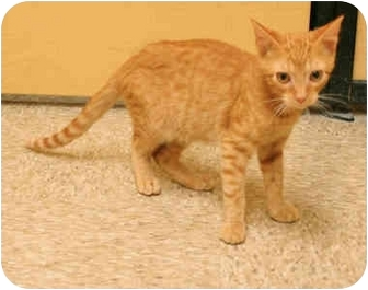 Domestic Shorthair Kitten for adoption in Orlando, Florida - Reece