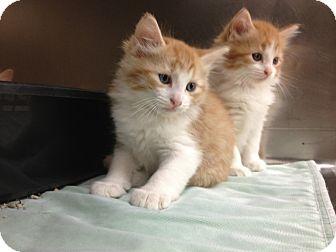 Domestic Longhair Kitten for adoption in Weatherford, Texas - Kittens