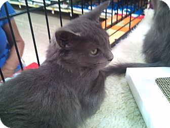 Russian Blue Kitten for adoption in Modesto, California - Smokey