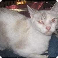 Adopt A Pet :: Angel Pie - Dallas, TX