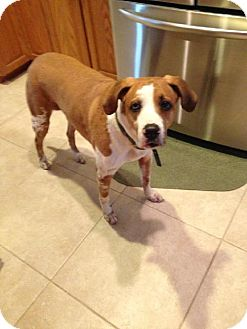 Pit Bull Terrier Mix Dog for adoption in West Palm Beach, Florida - Peanut