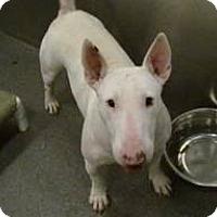 Adopt A Pet :: Sapphire - Sachse, TX