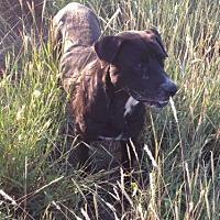 Labrador Retriever Mix Dog for adoption in Comanche, Texas - Dudley
