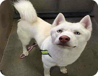 Siberian Husky Dog for adoption in Provo, Utah - Milo