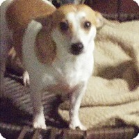Terrier (Unknown Type, Small)/Chihuahua Mix Dog for adoption in Brooksville, Florida - Banjo