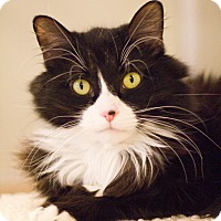 Domestic Shorthair Cat for adoption in Grayslake, Illinois - Ziggy