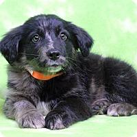 Adopt A Pet :: GALVIN - Westminster, CO