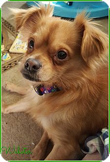 Papillon/Chihuahua Mix Dog for adoption in Elburn, Illinois - Webster