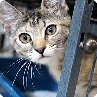 Adopt A Pet :: Lucy Belle - Sarasota, FL