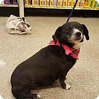Adopt A Pet :: Destiny - Las Vegas, NV
