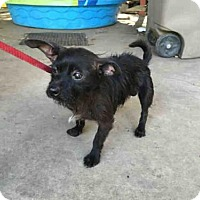Adopt A Pet :: A388860 - San Antonio, TX