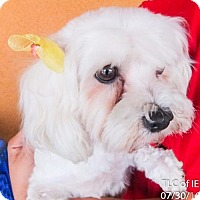Adopt A Pet :: Carla - Moreno Valley, CA