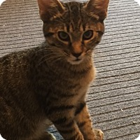 Domestic Shorthair Kitten for adoption in Colorado Springs, Colorado - Randolph
