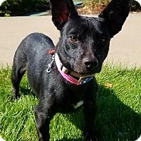 Adopt A Pet :: Callie 6 - Aurora, CO