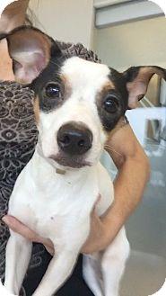 Dachshund Dog for adoption in Weston, Florida - Zane